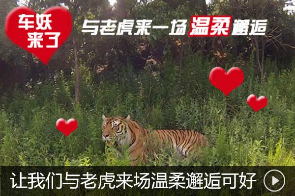 车妖来了 让我们与老虎来场温柔邂逅可好?
